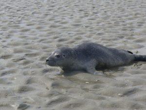 rencontre toujours par hasard veau marin et ou phoque gris